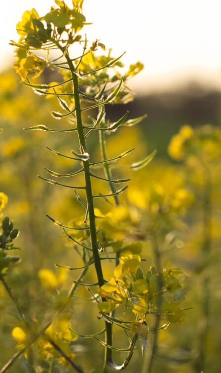 Senfpflanze